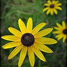 Black Eyed Susan  by Heather A McGhee