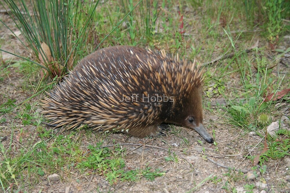 Echidna looking for food by Jeff Hobbs