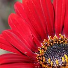 Close up of red flower by TonySlattery