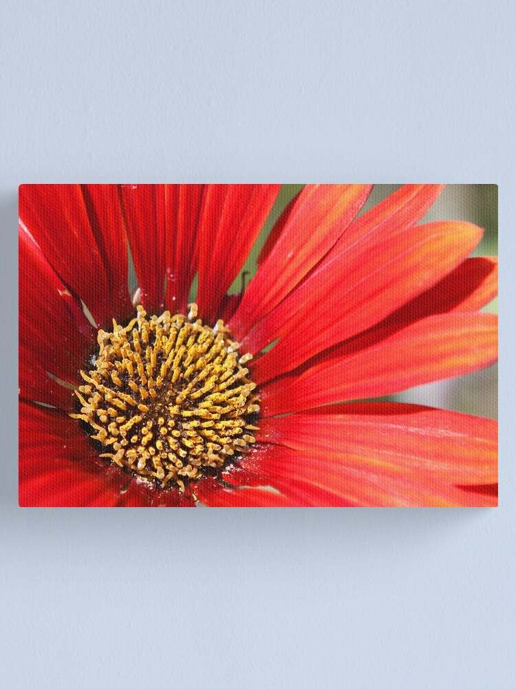 Alternate view of Close up of red flower with yellow centre Canvas Print