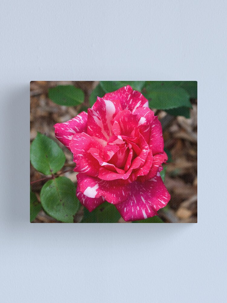 Alternate view of Pink and  white variegated rose Canvas Print