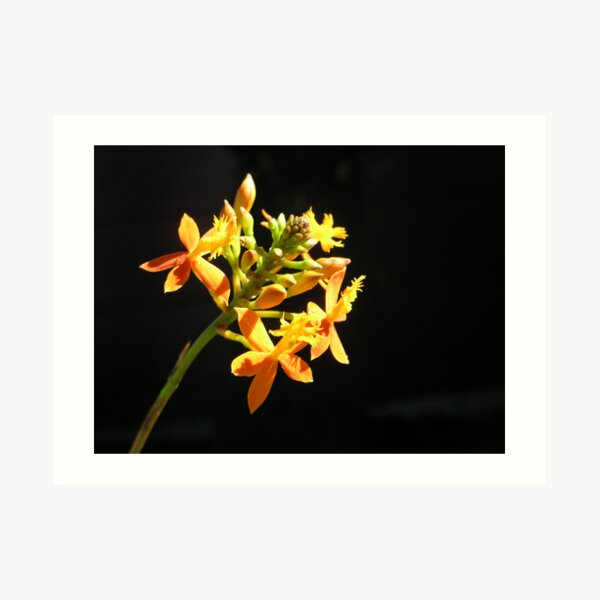 Yellow orchid with dark background Art Print