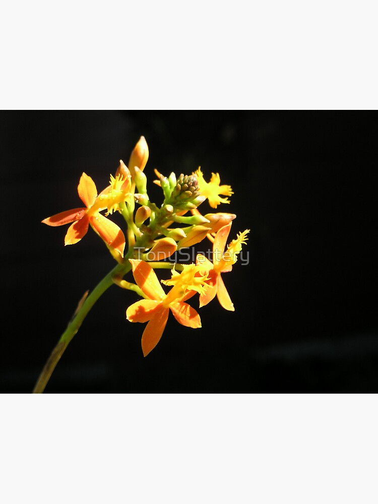 Yellow orchid with dark background by TonySlattery
