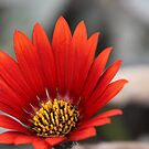 Close up of red daisy with yellow centre by TonySlattery