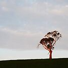 Lone Gum at Sunset. by Meg Hart
