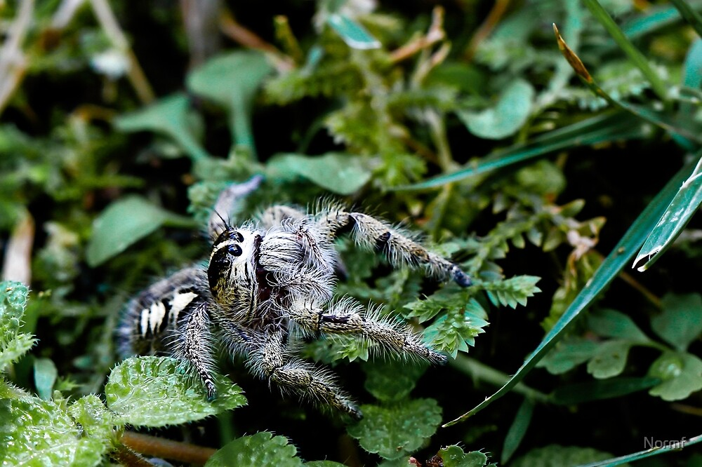 Jumping Spider by Normf