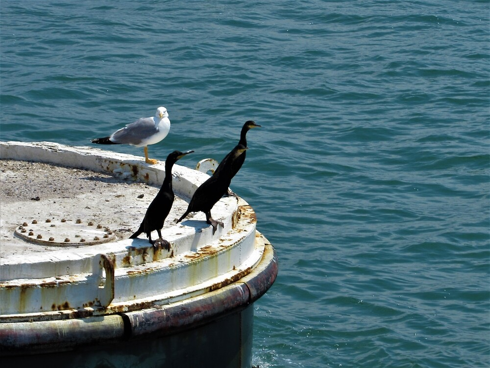 European Shags with Seagull Friend by tomeoftrovius