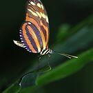 Ismenius Tiger - Heliconius ismenius by Lynda   McDonald