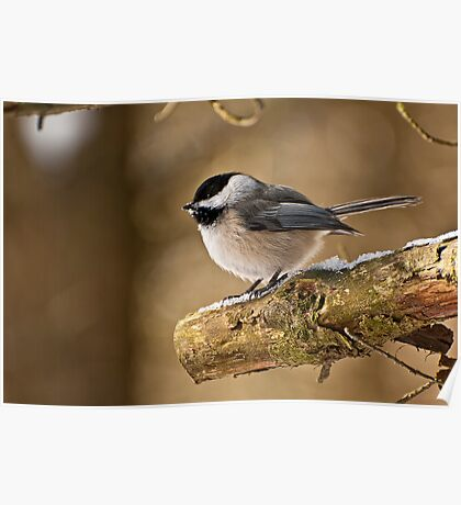 Black Capped Chickadee Poster