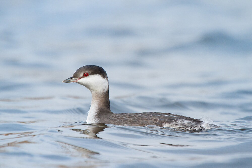 Horned Grebe - different individual. by Daniel Cadieux