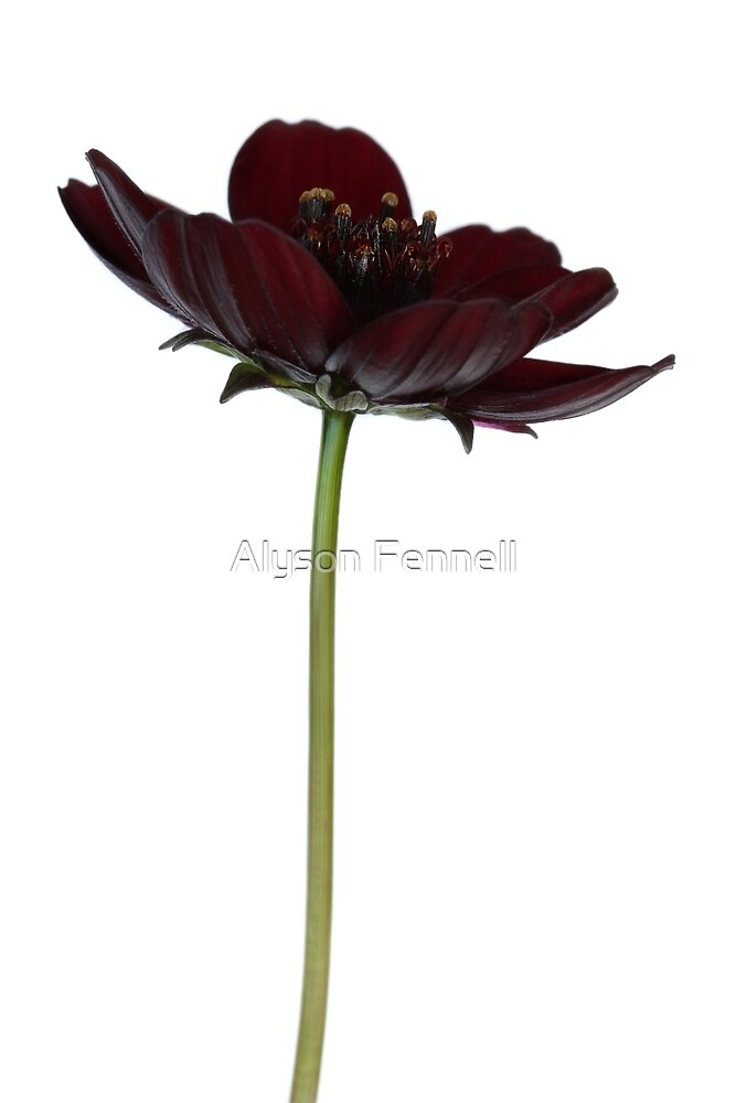 Chocolate Cosmos Flower by Alyson Fennell