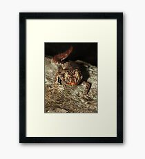 Northern Spiny-tailed Gecko Framed Print