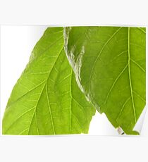 Hibiscus Leaves Poster