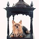 Pampered Yorkie by susan stone