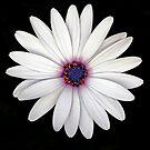 White Daisy by Joy Rensch