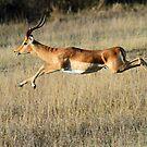 Impala in motion by Anthony Goldman