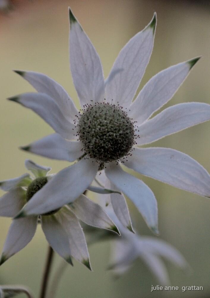 Flannel Flower 4 by julie anne  grattan