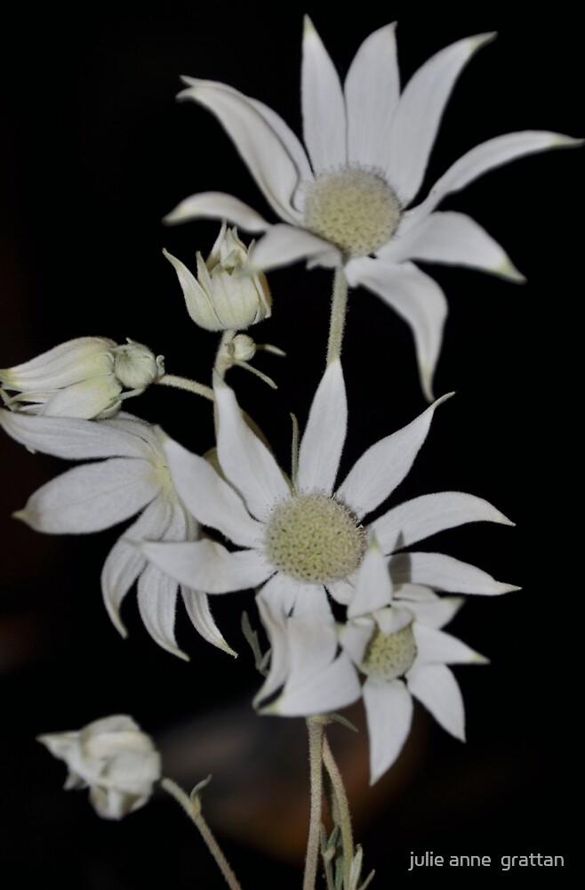 Flannel Flower 12 by julie anne  grattan