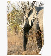 African Elephant 3 Poster