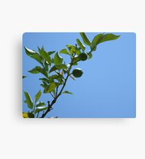 Premature lemon tree Canvas Print