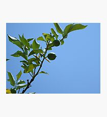 Premature lemon tree Photographic Print