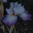 Iris - white, violet edge by orkology