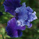 Iris 'Got the Blues' by orkology