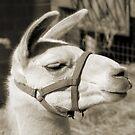 Llama Profile by Jay Reed