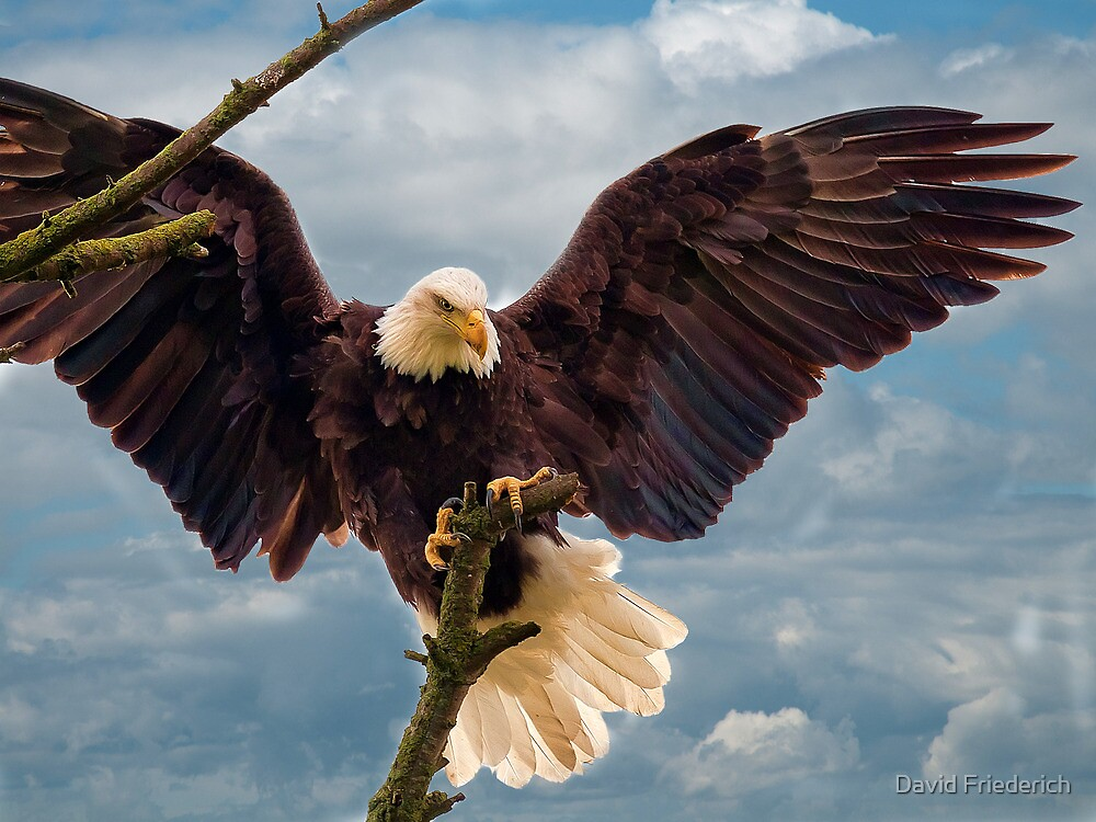 quotbald eagle landing on a branchquot by david friederich