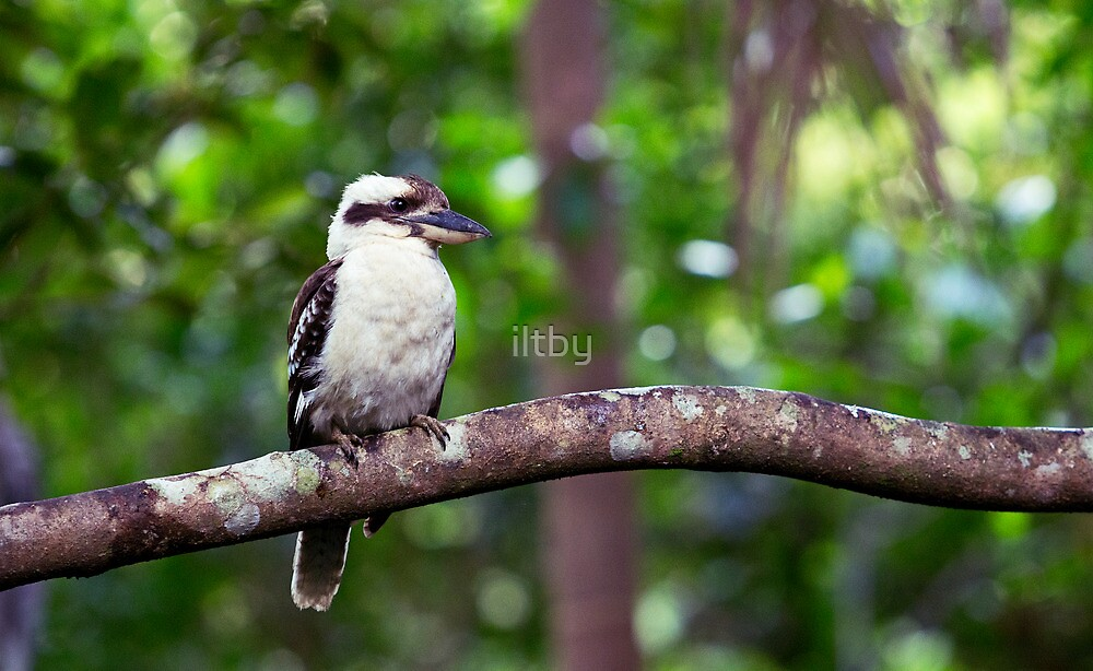 Hopeful Kookaburra by iltby