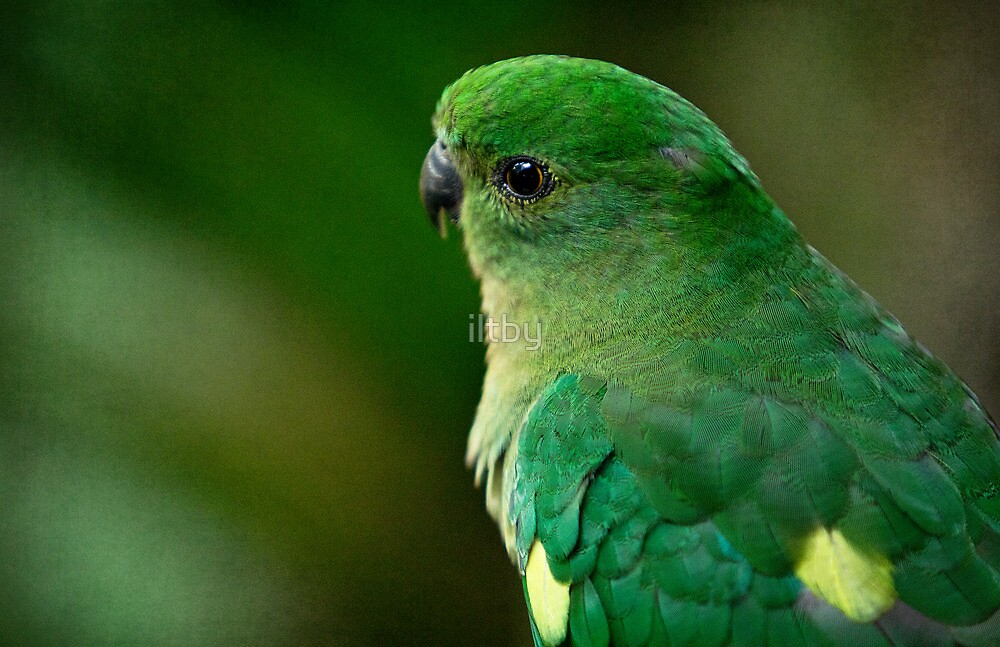 Curious King Parrot II by iltby