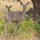 Coues White-tailed Deer ~ Madera Canyon by Kimberly Chadwick