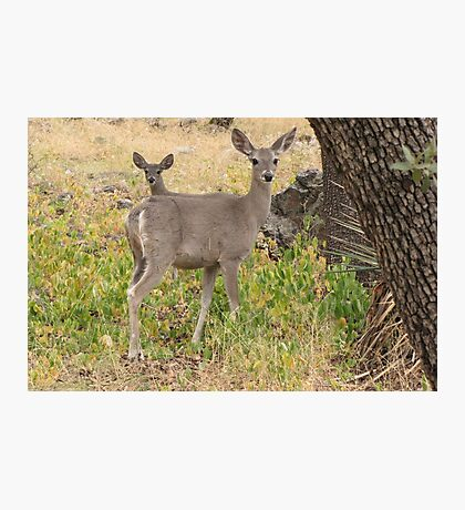 Coues White-tailed Deer ~ Madera Canyon Photographic Print