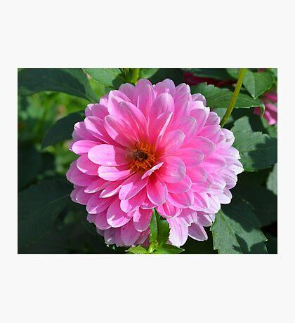 Bee on Pink Dahlia Photographic Print