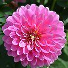 Bright Pink Dahlia by Paula Betz