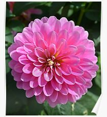 Bright Pink Dahlia Poster