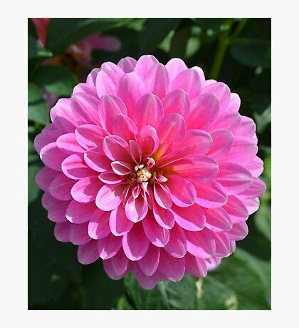 Bright Pink Dahlia Photographic Print