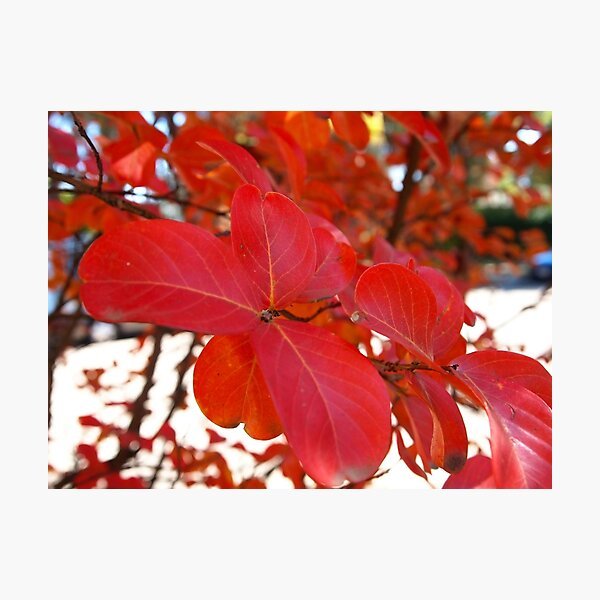 Red Leaves in Autumn 2 Photographic Print