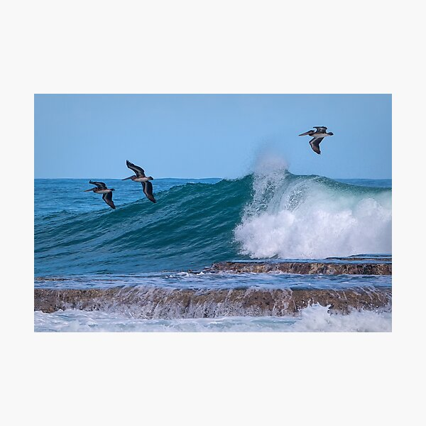 Pelicans riding the waves Photographic Print