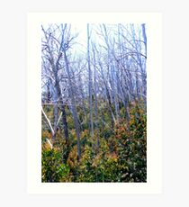 Alpine Ash Forest, Mt Buffalo Art Print