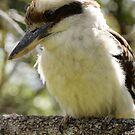 Kookaburra by Stephen Denham