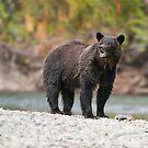 Bella Coola Grizzly by Raymond J Barlow