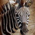 Zebra by Kathy Baccari