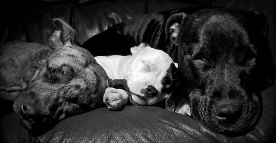 Cookie,Molly,Alfie - the Staffie Family by Mark Cooper