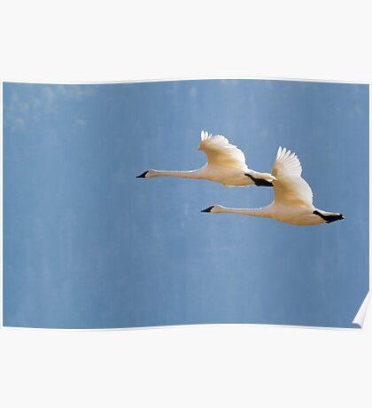 Trumpeter Swan Pair In Flight Poster