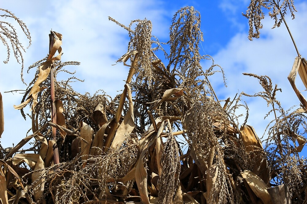 Corn Stalks Drying in the Sun by rhamm