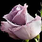 Lavender Rose by Ubernoobz