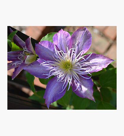 Purple Clematis Flower on Trellis  Photographic Print