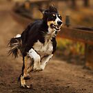 Saluki Speed by whippeteer
