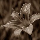 Day Lily Dream by Mechelep